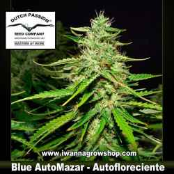 Blue Auto Mazar – Autofloreciente – Dutch Passion