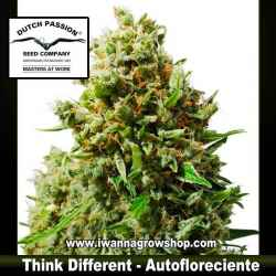 THINK DIFFERENTde DUTCH PASSION - semilla automática (SATIVA)