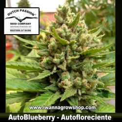 Auto Blueberry – Autofloreciente – Dutch Passion