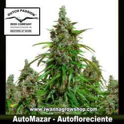 Auto Mazar – Autofloreciente – Dutch Passion