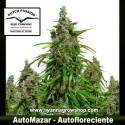 AUTOMAZAR de DUTCH PASSION | Autofloreciente | Indica