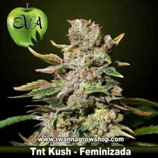 TNT KUSH de EVA SEEDS – semilla feminizada (INDICA)