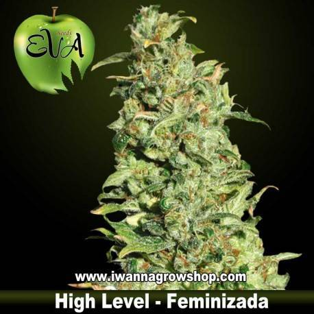 HIGH LEVEL de EVA SEEDS – semilla feminizada (SATIVA)