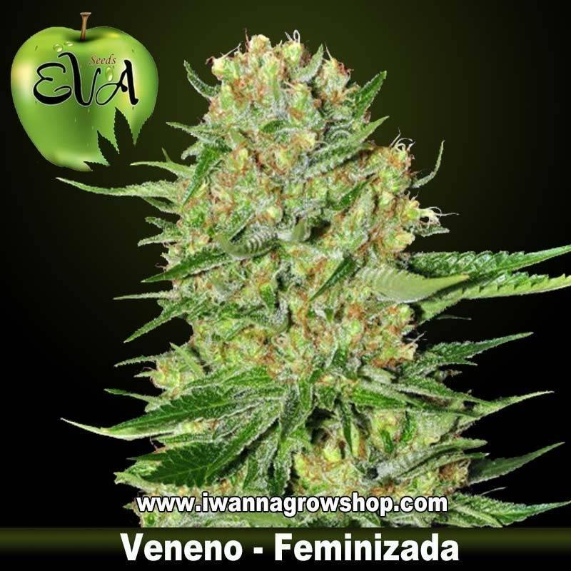 VENENO de EVA SEEDS – semilla feminizada (INDICA)