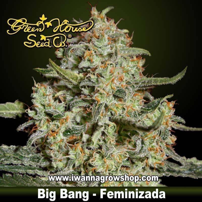 Big Bang feminizada - Green House - 3, 5, y 10 u.