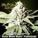 GREAT WHITE SHARK de GREEN HOUSE | Feminizada | Indica