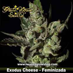 Exodus Cheese – Feminizada – Green House