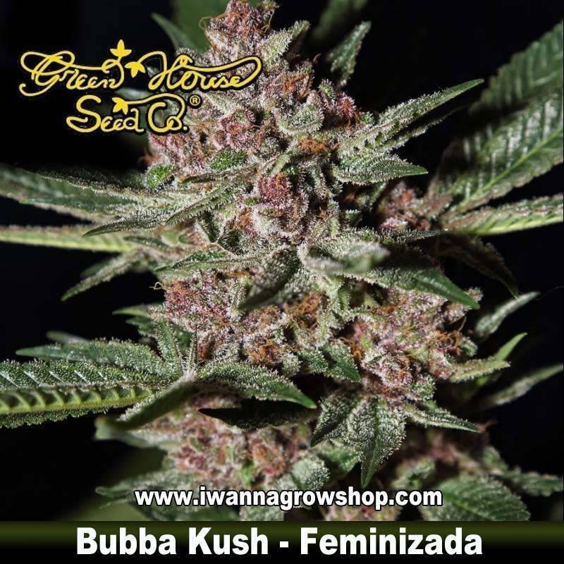Bubba Kush feminizada - Green House - 3 y 5 u.