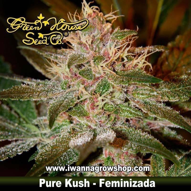 Pure Kush feminizada - Green House - 5 y 10 u.