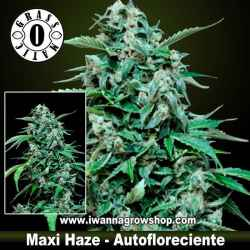 Maxi Haze – Autofloreciente – Grass O Matic
