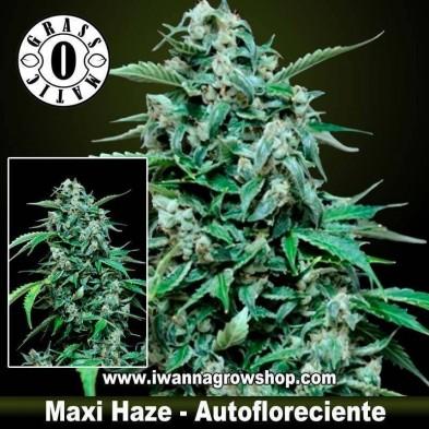 Maxi Haze – Autofloreciente – Grass O Matic