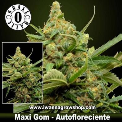Maxi Gom – Autofloreciente – Grass O Matic