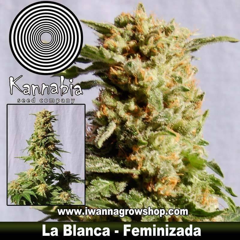 LA BLANCA de KANNABIA – semilla feminizada (INDICA)