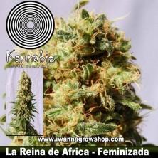 LA REINA DE AFRICA de KANNABIA | Feminizada | Indica