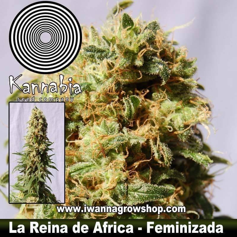 LA REINA DE AFRICA de KANNABIA – semilla feminizada (INDICA)