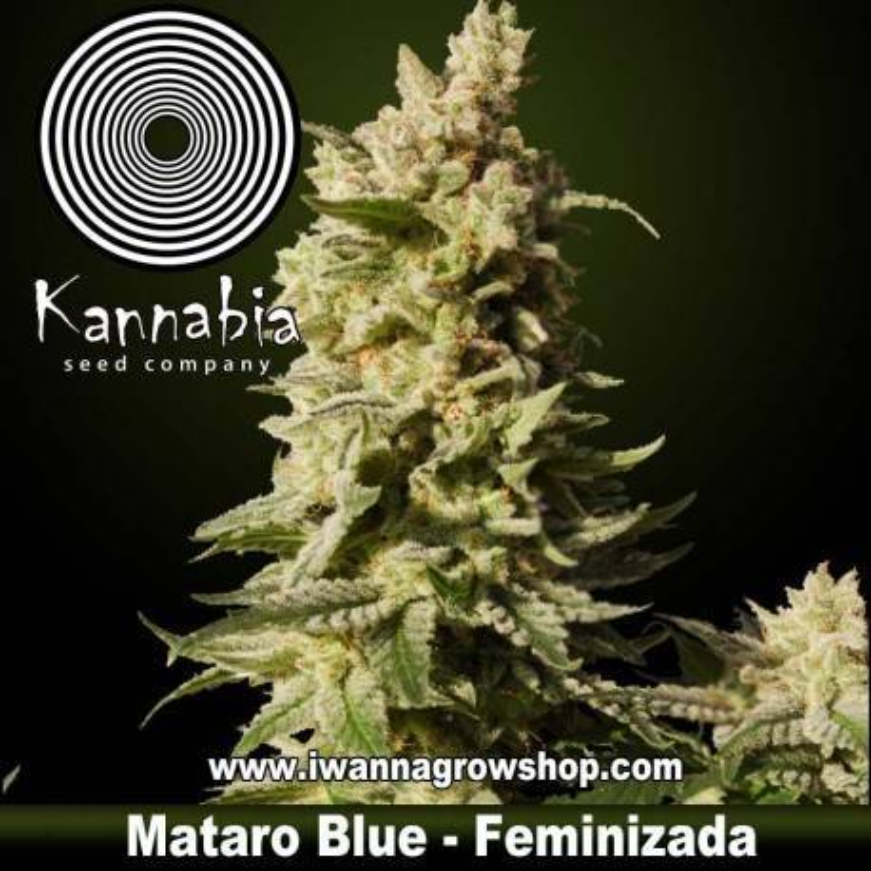 MATARO BLUE de KANNABIA – semilla feminizada (INDICA)