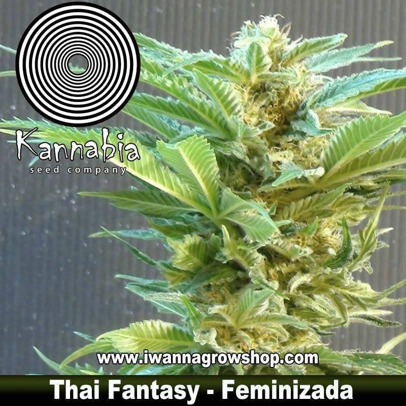 THAI FANTASY de KANNABIA – semilla feminizada (INDICA)