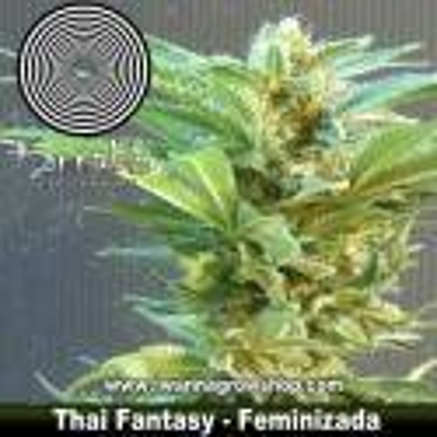 THAI FANTASY de KANNABIA | Feminizada | Indica