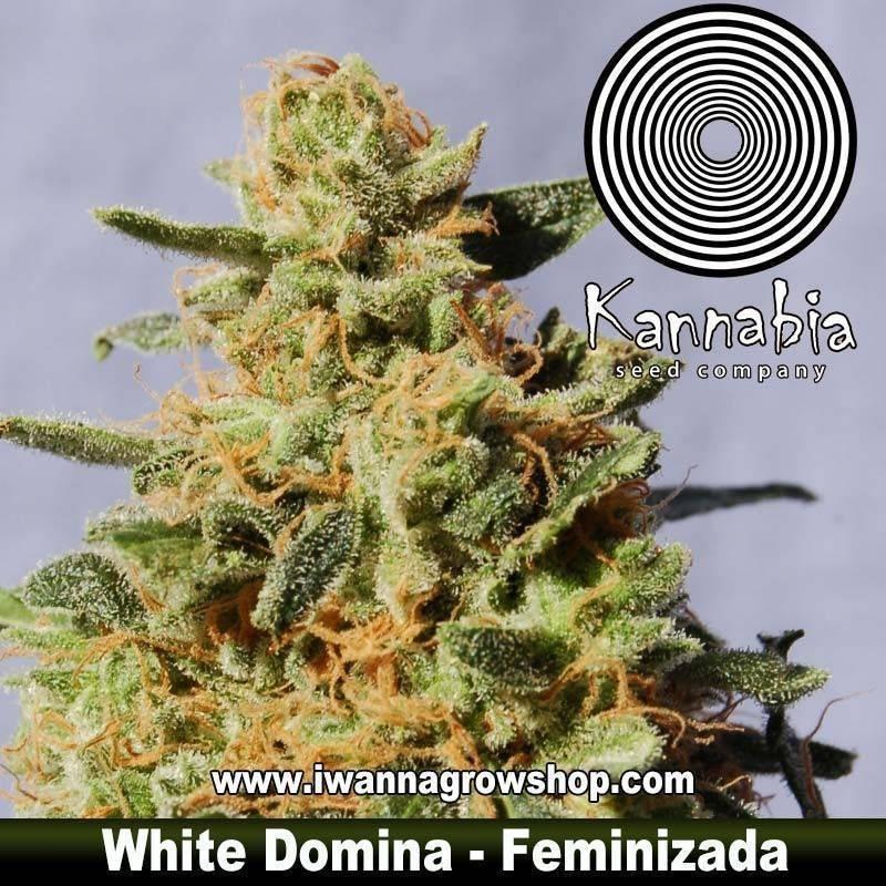WHITE DOMINA de KANNABIA – semilla feminizada (INDICA)