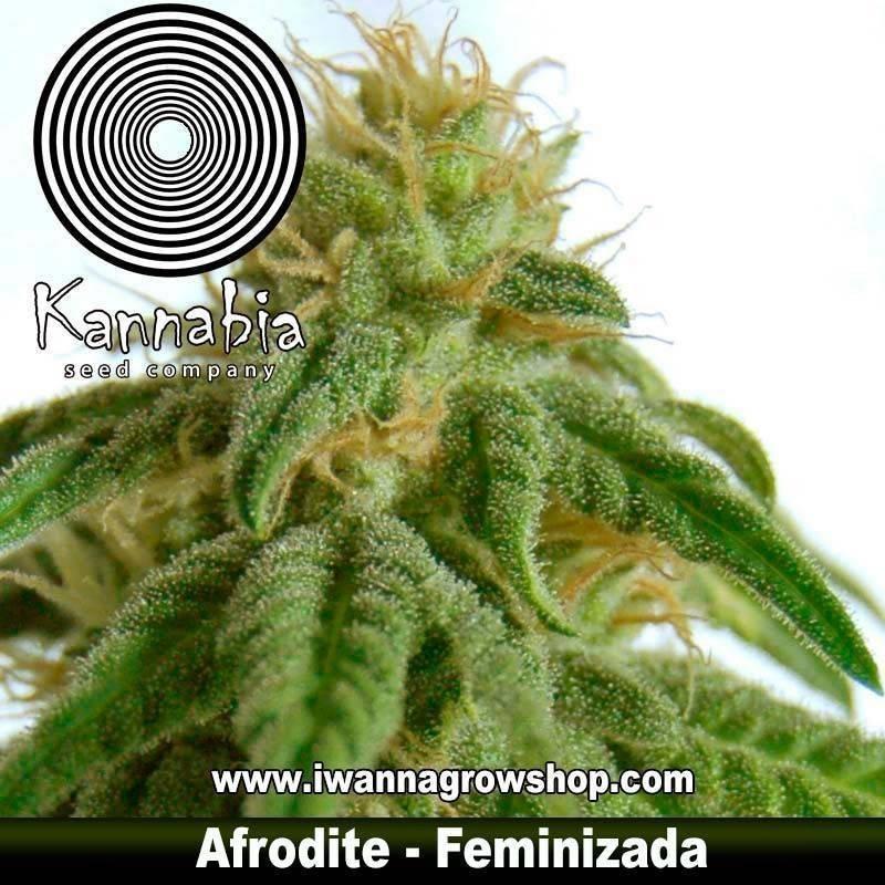 AFRODITE de KANNABIA – semilla feminizada (INDICA)
