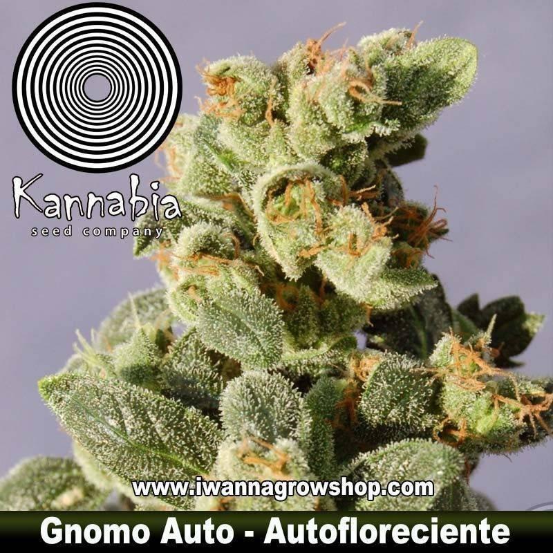 GNOMO AUTO de KANNABIA – semilla autofloreciente (INDICA)