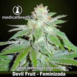 DEVIL FRUIT de MEDICAL SEEDS | Feminizada | Indica