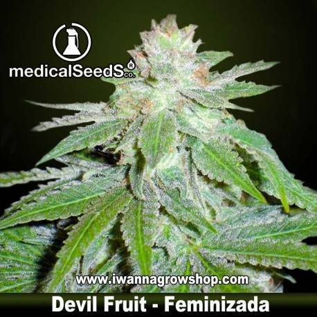DEVIL FRUIT de MEDICAL SEEDS semilla feminizada (INDICA)