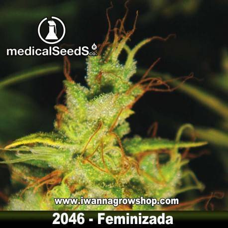 2046 de MEDICAL SEEDS – semilla feminizada (SATIVA)
