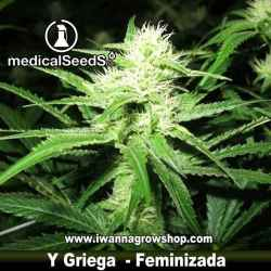 Y GRIEGA de MEDICAL SEEDS | Feminizada | Sativa