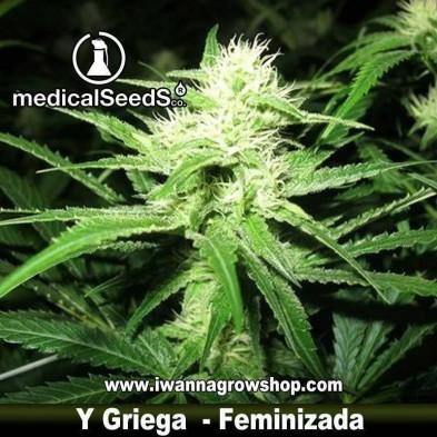 Y Griega – Feminizada