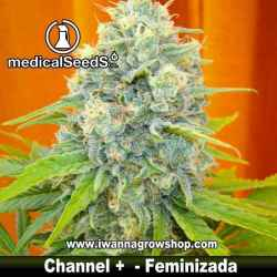 CHANNEL + de MEDICAL SEEDS | Feminizada | Indica-Sativa