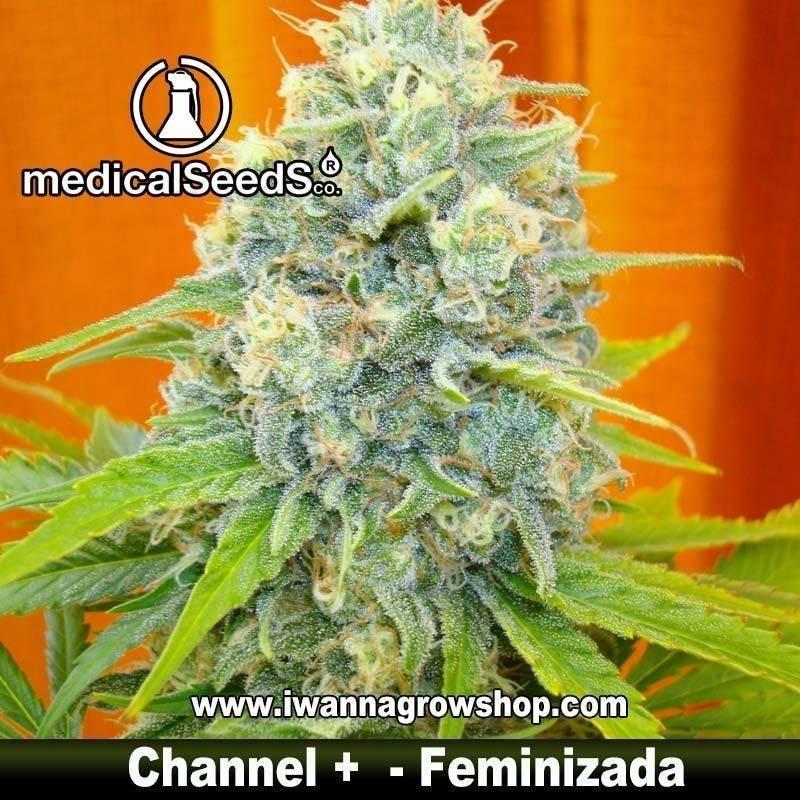 CHANNEL + de MEDICAL SEEDS – feminizada (INDICA-SATIVA)