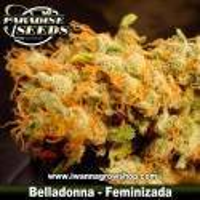 Belladonna – Feminizada – Paradise Seeds