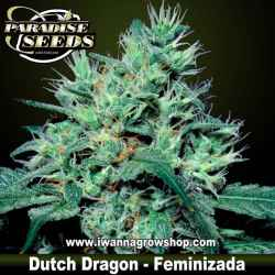 DUTCH DRAGON de PARADISE SEEDS | Feminizada | Sativa