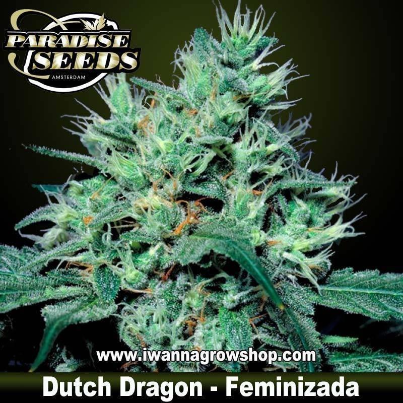 DUTCH DRAGON de PARADISE SEEDS – semilla feminizada (SATIVA)