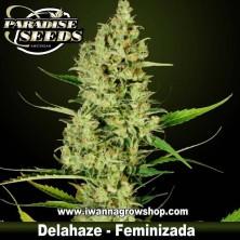 DELAHAZE de PARADISE SEEDS | Feminizada | Sativa