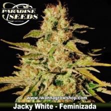 JACKY WHITE de PARADISE SEEDS | Feminizada | Sativa