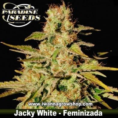 Jacky White – Feminizada – Paradise Seeds