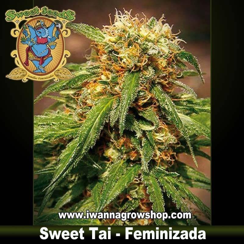 Sweet Tai feminizada - Sweet Seeds - 3, 5 y 10 u.