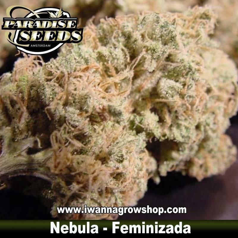 NEBULA de PARADISE SEEDS – semilla feminizada (INDICA-SATIVA)