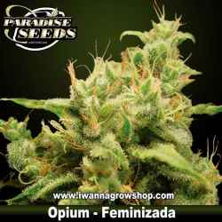 Opium – Feminizada – Paradise Seeds