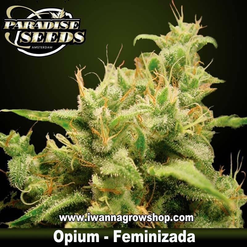 OPIUM de PARADISE SEEDS – semilla feminizada (INDICA-SATIVA)