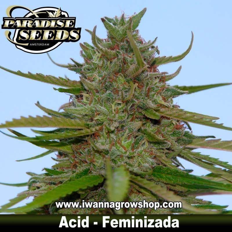 ACID de PARADISE SEEDS – semilla feminizada (SATIVA)