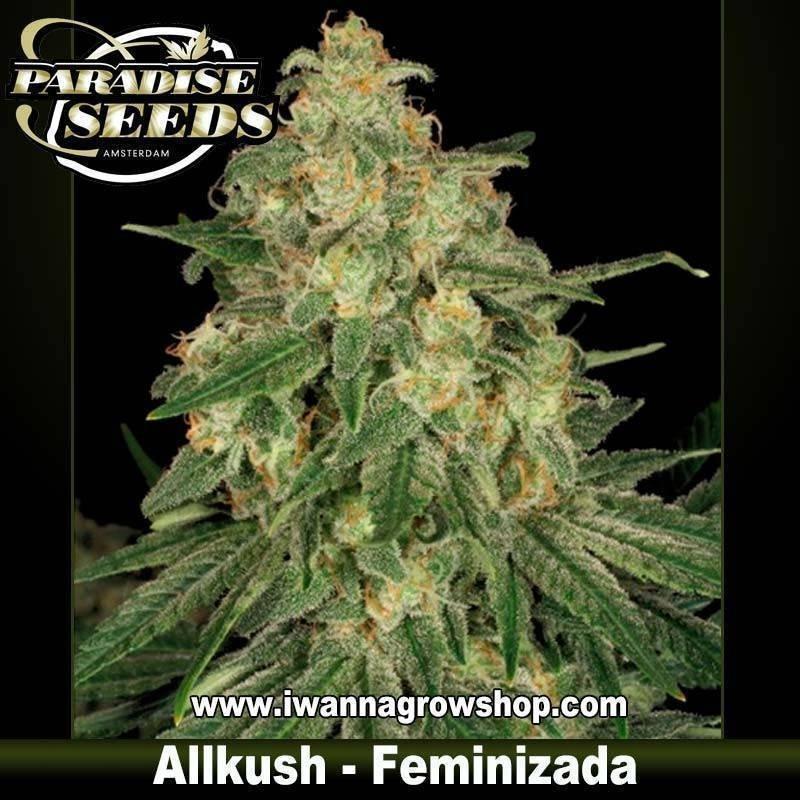 ALLKUSH de PARADISE SEEDS – semilla feminizada (INDICA)
