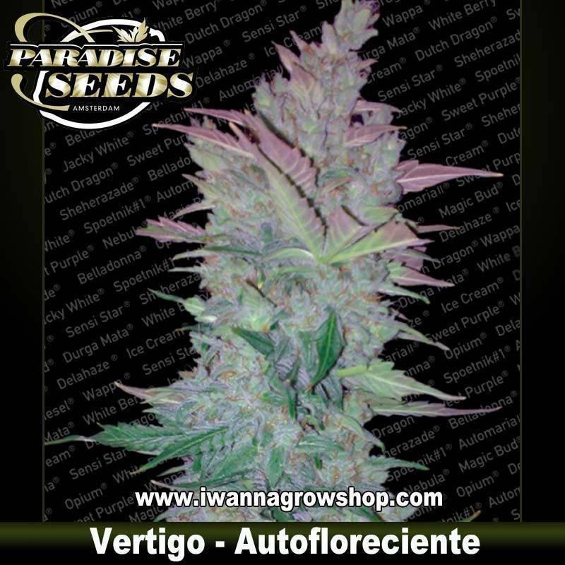 VERTIGO de PARADISE SEEDS – semilla autofloreciente (INDICA-SATIVA)