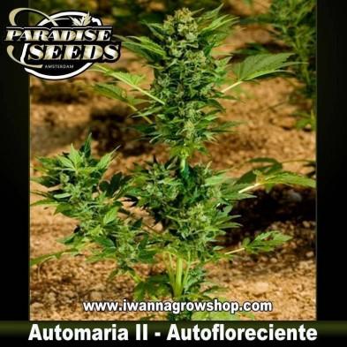 Automaria II – Autofloreciente