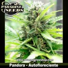 PANDORA de PARADISE SEEDS | Autofloreciente
