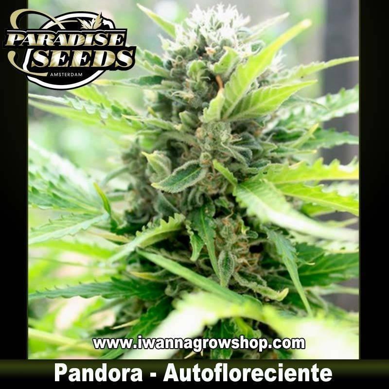 PANDORA de PARADISE SEEDS – semilla (AUTOMATICA)