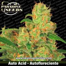 Auto Acid – Autofloreciente