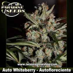 Auto White Berry – Autofloreciente